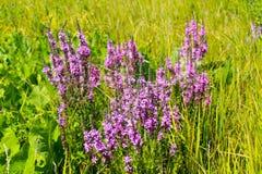 Purple Loosestrife Lythrum Salicaria Stock Photography