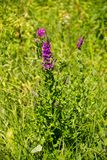 Purple Loosestrife Lythrum Salicaria on meadow Stock Images