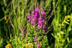 Purple Loosestrife Lythrum Salicaria on meadow Stock Image