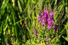 Purple Loosestrife Lythrum Salicaria on meadow Stock Photography