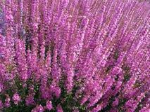 Purple loosestrife Lythrum salicaria plant Royalty Free Stock Photo