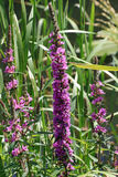 Purple Loosestrife. Makes a tall wildflower that grows naturally on banks of streams and around ponds. `Rose` is a more sophisticated cultivated form, with Royalty Free Stock Photo