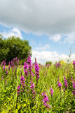 Purple Loosestrife and other wild plants Stock Photos