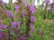 Purple Loosestrife or Sage. Fields in Wholesale Bouquet Royalty Free Stock Photo