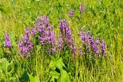 Purple Loosestrife (Lythrum Salicaria) Royalty Free Stock Photography