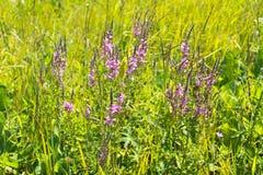 Purple Loosestrife (Lythrum Salicaria) Stock Photos