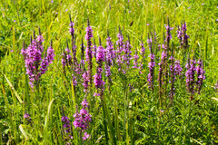 Purple Loosestrife (Lythrum Salicaria) Royalty Free Stock Photography