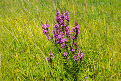 Purple Loosestrife (Lythrum Salicaria) Stock Photography