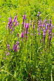 Purple Loosestrife (Lythrum Salicaria) Royalty Free Stock Images