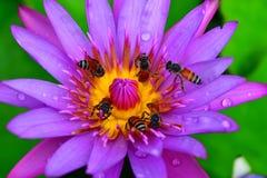 Purple lotos. Bees pollinating in purple lotus Royalty Free Stock Image