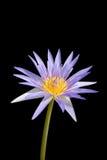 Purple lotus. Close up a purple lotus Stock Image