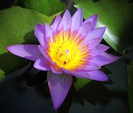 A Purple Lotus Royalty Free Stock Photo
