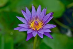 Purple lotus. Is water plant kind Royalty Free Stock Image