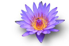 Purple lotus. Royalty Free Stock Images