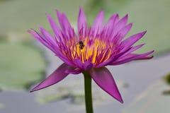 Purple Lotus. Purple Petals blossom Lotus in the Pool Royalty Free Stock Photo