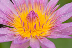 Purple lotus Stock Images