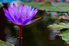 Purple lotus. Purple lotus in the bloom ,isolted ,background stock image