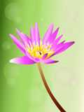 Purple lotus Stock Image