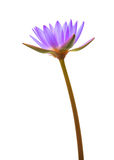 Purple lotus. Isolated on white background stock images