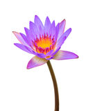 Purple lotus. Isolated on white background royalty free stock photos