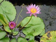 Purple Lotus. Lotus in pond stock images