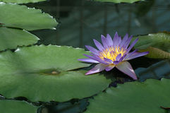 Purple lotus. Lotus flower with green pods royalty free stock photo