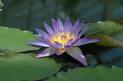 Purple lotus. With green pods stock photography