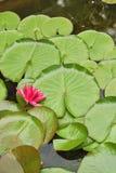 Purple lotus against the background of large green round algae stock photos