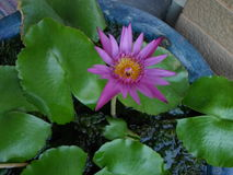 Purple lotus. Alone in water pot Royalty Free Stock Image