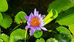 A purple lotus and Apis florea. Stock Photos