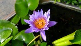 A purple lotus and Apis florea. Stock Images