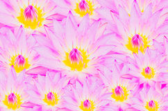 Purple Lotus background Royalty Free Stock Photos