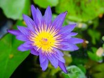 Purple lotus Royalty Free Stock Image