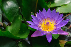Purple lotus. Beautiful lotus flower floating in a pond Royalty Free Stock Photography