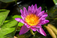 Purple Lotus. Beautiful yellow stamens Royalty Free Stock Photos