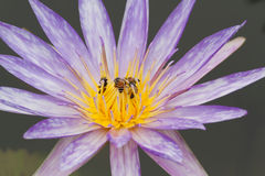 Purple lotus and bee. Royalty Free Stock Photo