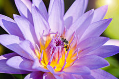 Purple lotus and bee. Close up of purple lotus and bee Royalty Free Stock Photography