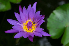 Purple lotus. With bee flying around stock photography