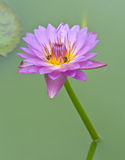 Purple lotus with bee Stock Photography