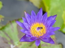 Purple lotus with bee Royalty Free Stock Image