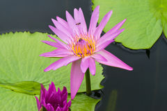 Purple lotus with bee on pollen Stock Photography