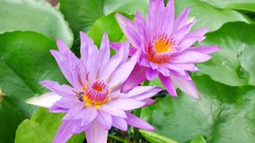 A purple lotus and bee. A purple lotus is one of the beautiful flower type stock video footage