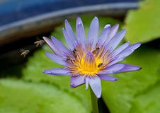 Purple Lotus with bees Stock Photography