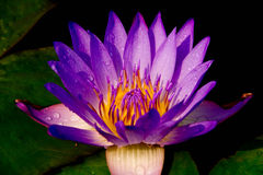 Lotus. Purple lotus in the bloom ,isolted ,background Royalty Free Stock Photo