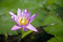 Purple lotus blooming . Royalty Free Stock Image