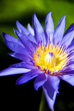 Purple lotus blooming. Closeup of purple lotus and yellow pollen royalty free stock images