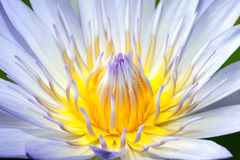 Purple lotus. A blooming lotus flower of purple color Royalty Free Stock Photos