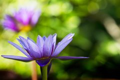 Purple lotus blooming with water drop on blurred green bokeh background Stock Image