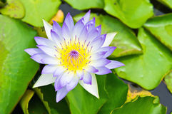 Purple lotus blossom Stock Images