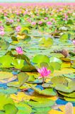 Purple lotus blossom in the lake Royalty Free Stock Photography